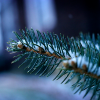 Locally-grown Christmas Trees Are A Renewable Resources